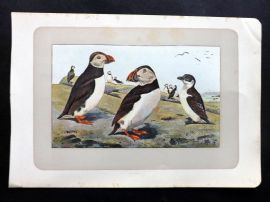 Mahler 1907 Antique Bird Print. La Macarex Moine. Puffin